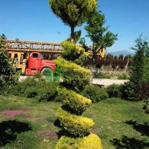 Limoni servi, Kokulu monteri servisi spiral formlu - Cupressus macrocarpa goldcrest spiralle (CUPRESSACEAE)