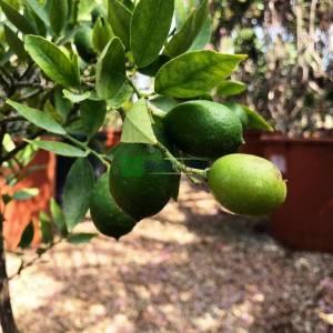 Florida limoni, Limequat - Citrofortunella floridana limequat eustis (RUTACEAE)