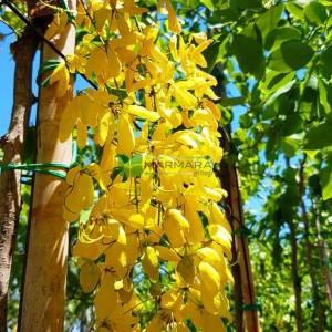 Altın ağacı, hint sarı salkımı, Altın Yağmur Sinamekisi - Cassia fistula (FABACEAE)