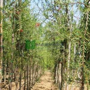 Ağlayan Şişe Fırçası kısa tijli baston formlu - Callistemon viminalis half tige (MYRTACEAE)