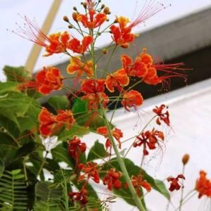 Barbados Gururu, Cennet Kuşu, Cüce Poinciana, Tavuskuşu Çiçeği, - Caesalpinia pulcherrima (Poinciana pulcherrima) (CAESALPINIACEAE)