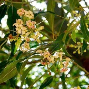 Avustralya Şişe Ağacı, Dar yaprak Şişe ağacı, - Brachychiton rupestris (MALVACEAE)