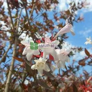 Güzellik çalısı,abelya,Büyük çiçekli abelya baston şekil - Abelia x grandiflora half tige (CAPRIFOLIACEAE)