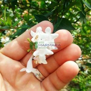 Güzellik çalısı,abelya,Büyük çiçekli abelya baston form, kısa tij,Büyük Çiçekli Kelebek Çalısı - Abelia grandiflora half tige (CAPRIFOLIACEAE)