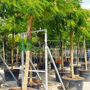 İpek ağacı, İstanbul akasyası,Gülibrişim ağacı şemsiye - Albizia julibrissin