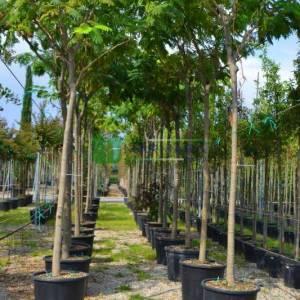 İpek ağacı, İstanbul akasyası,Gülibrişim ağacı şemsiye - Albizia julibrissin umbrella (FABACEAEA)