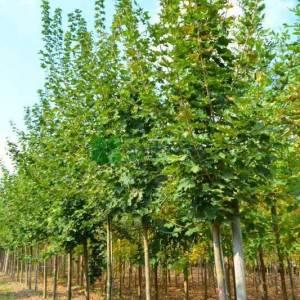 Çınar yapraklı akçaağaç - Acer platanoides (ACERACEA)