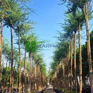 şemsiye diken akasya,Afrika akasyası - Acacia tortilis (MIMOSACEAE)