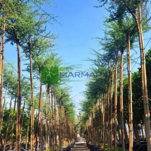 şemsiye diken akasya, Afrika akasyası - Acacia tortilis (MIMOSACEAE)