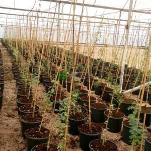 Dikenli Akasya, Arap akasyası, Üç Dikenli Akasya, Sudan Sakızı - Acacia arabica (Senegalia senegal) (MIMOSACEAE)