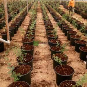 Arap akasyası, Üç Dikenli Akasya, Sudan Sakızı,Arap zamkı ağacı, Babul, Thorn Mimoza, Mısır Akasyası - Acacia arabica (Vachellia nilotica) (MIMOSACEAE)