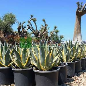 Agave, American Agave, American Century Plant, Maguey 'Marginata'