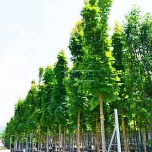 Sütun formlu çınar yapraklı akçaağaç - Acer platanoides columnare (ACERACEA)