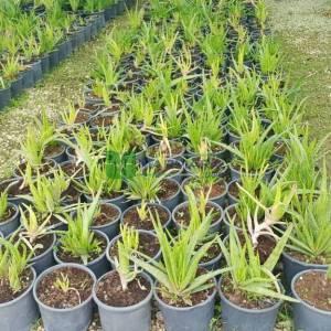 Aloe Türleri, Aloe Vera, Tıbbi sarı sabır - Aloe vera (ASPHODELACEAE)