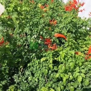 Acem borusu - Bignonia capensis (Tecomaria capensis) (BIGNONIACEAE)