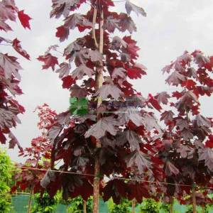 Kırmızı çınar yapraklı akçaağaç - Acer platanoides crimson king tige (ACERACEA)