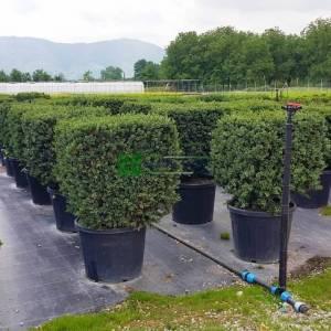 Şimşir amerikan küp formlu - Buxus sempervirens cube (BUXACEAE)