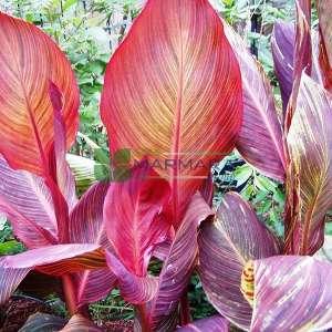 Tesbih çiçeği, Kanna çiçeği, Arar otu kırmızı yapraklı - Canna indica var. purpurea (CANNACEAE)