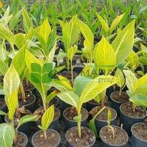 Tesbih çiçeği, Kanna çiçeği, Arar otu Turuncu çiçekli alacalı - Canna americanallis var. variegata (Canna pretoria) (CANNACEAE)