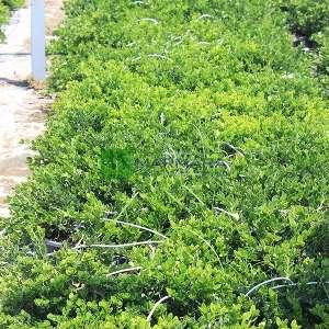 Nadal eriği, Sürünen yasemin, Natal, Doğuş eriği - Carissa macrocarpa (Carissa grandiflora) (APOCYNACEAE)