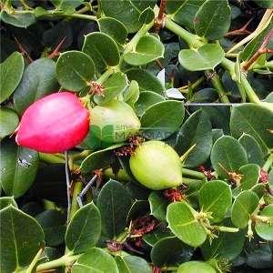Nadal eriği, Sürünen yasemin, Natal, Doğuş eriği, sürünücü - Carissa macrocarpa prostrata (Carissa grandiflora) (APOCYNACEAE)