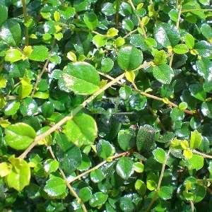 Çay ağacı,Yabani çay - Carmona microphylla retusa (BORAGINACEAE)