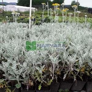 Bahçe Külü, Kül çalısı - Cineraria maritima (Senecio bicolor subsp. cineraria) (ASTERACEAE)