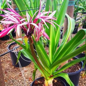 Dev Crinum Lily, Büyük Crinum Lily, Örümcek Zambak,Zehirli Ampul - Crinum asiaticum (AMARYLLIDACEAE)