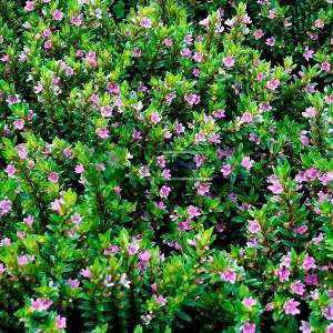 Kufeya,küfeya, Meksika fundası,Ateş çiçeği,Meksika purosu,Kestane fişeği - Cuphea hyssopifolia (LYTHRACEAE)