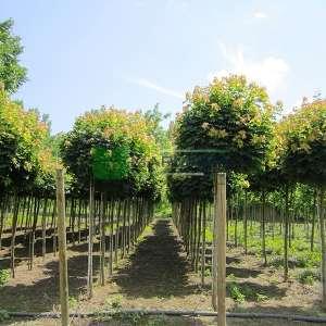 Çınar yapraklı top akçaağaç - Acer platanoides globosum (ACERACEA)