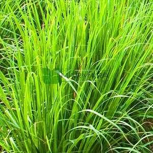 Limon çim, Limon otu,Batı hindistan limon çimi - Cymbopogon (Andropogon) citratus (POACEAE)