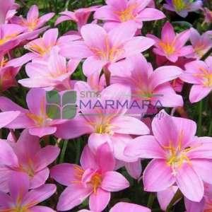 Zıpçıktı, Pembe yağmur zambak, - Zephyranthes rosea (AMARYLLIDACEAE)