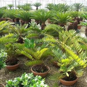 Karton palmiyesi,sikas,Cüce Zamia - Zamia pumila (Zamia latifoliolata) (ZAMIACEAE)