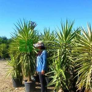 Yucca,Dev yukka, ipliksiz yukka, - Yucca elephantipes var. gigantea (ASPAGACEAE)