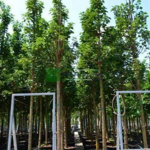 Yalancı çınar yapraklı dağ akçaağacı, Büyük çınar yapraklı akçaağaç - Acer pseudoplatanus (ACERACEA)