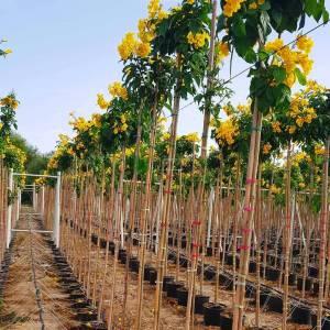 trompet çiçek, Sarı çan, - Tecoma (Stenolobium) stans (BIGNONIACEAE)