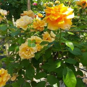 Hibrit peyzaj gülü, baston gül, aşılı gül - Rosa spp. half tige (ROSACEAE)