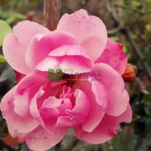 Isparta gülü pembe çiçekli peyzaj gülü, aşılı gül, kokulu gül - Rosa × damascena pink (ROSACEAE)