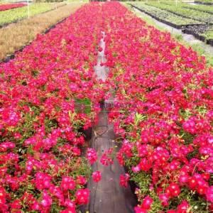 Isparta gülü kırmızı çiçekli,kokulu gül, aşılı gül,dikensiz gül,dikenli gül,yediveren gül - Rosa × damascena red (ROSACEAE)