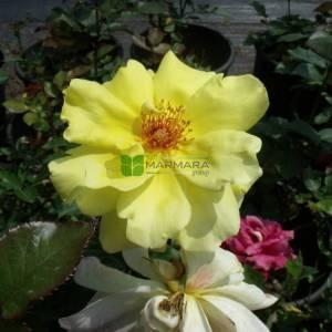 Isparta gülü sarı çiçekli,kokulu gül, aşılı gül,dikensiz gül,dikenli gül,yediveren gül - Rosa × damascena yellow (ROSACEAE)