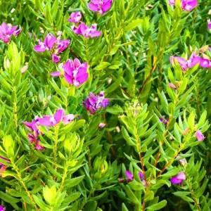 Poligala Çiçeği, Süt Otu,tatlı bezelye çalısı, Eylül çalısı - Polygala myrtifolia (POLYGALACEAE)