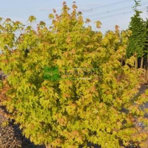 Çalı piramit formlu gümüşi akçaağaç - Acer saccharinum multi stem (ACERACEA)