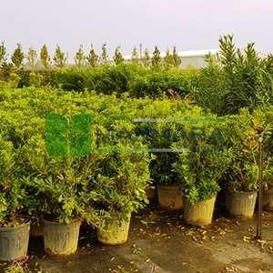 Boylu yıldız çalısı, Pitos, Japon peynir ağacı, Avustralya defnesi - Pittosporum tobira (PITTOSPORACEAE)