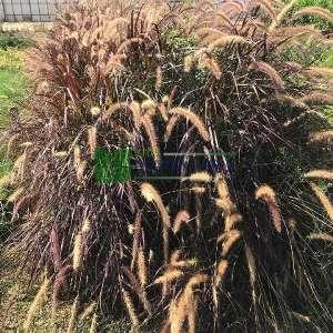 Pennisetum kırmızı,Kırmızı püskül - Pennisetum setaceum