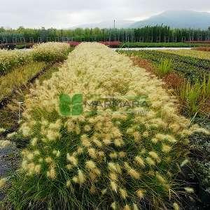 Pennisetum, yeşil püskül - Pennisetum setaceum (POACEAE)