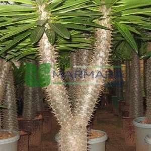 Madagaskar palmiyesi - Pachypodium lamerei (APOCYNACEAE)