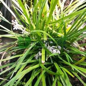 Maymun otu, osmanlı çimi - Ophiopogon japonicus (ASPARAGACEAE)