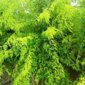 gümüşi akçaağaç ince yapraklı, dere akçaağaç, gümüş yapraklı akçaağaç, yumuşak akçaağaç, büyük akçaa - Acer saccharinum laciniatum wieri tige (ACERACEA)