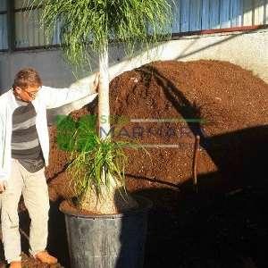 Midilli Kuyruk Palmiye, Şişe Palmiye - Nolina (Beaucarnea) recurvata (Dasylirion recurvatum) (ASPARAGACEAE)