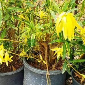 Zakkum alaca yapraklı, sarı yeşil yapraklı pembe çiçekli - Nerium oleander variegata (APOCYNACEAE)